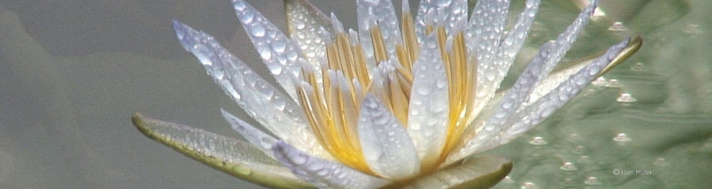 Lotus flower, Taipei Flower Expo, Taiwan, photographed by Tom Miller