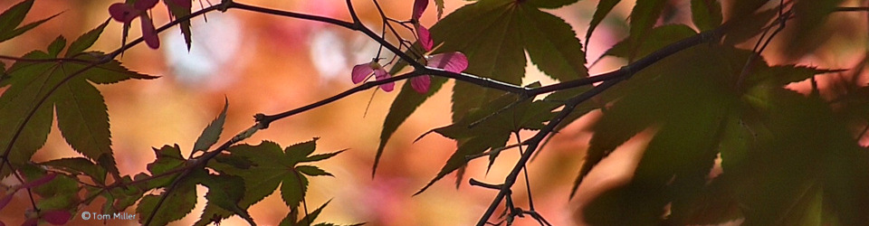 Maple Leaves in MA