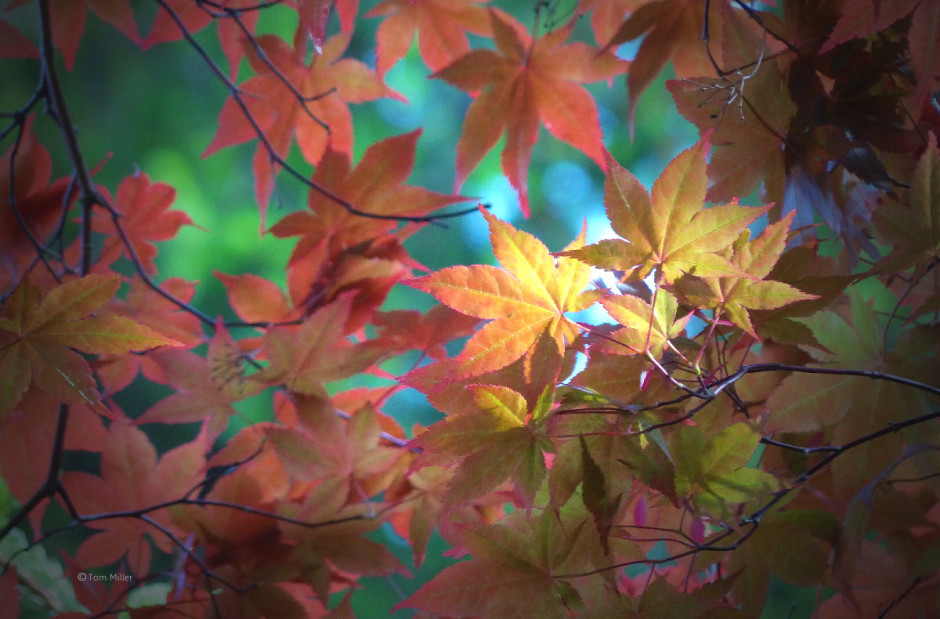 Bright Red Maple leaves_1